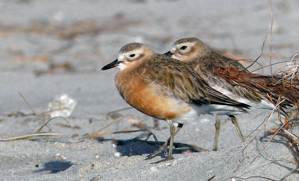 rare new zealand dotterel
